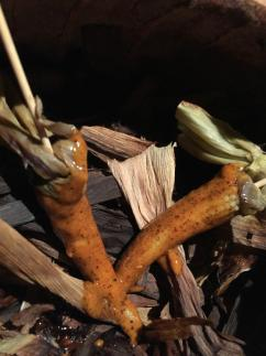 Detail maïs